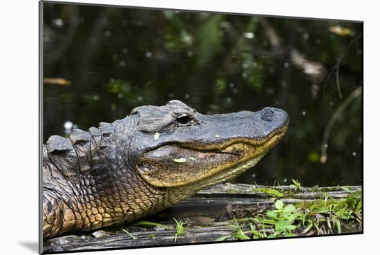 An American Alligator Basking in the Late Afternoon Sun-Mauricio Handler-Mounted Photographic Print