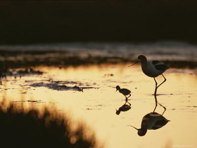 An American Avocet and Her Chick Wade in a Marsh at Sunrise-Roy Toft-Photographic Print