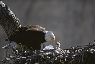 An American Bald Eagle and Chick-Roy Toft-Photographic Print