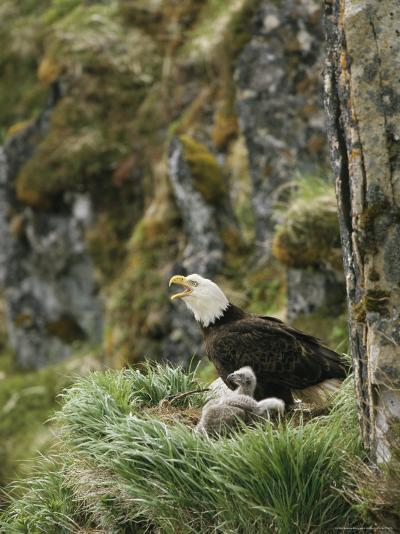 An American Bald Eagle and Chicks in Their Clifftop Nest-Klaus Nigge-Photographic Print