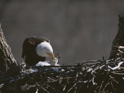 An American Bald Eagle Feeds its Chick-Roy Toft-Photographic Print