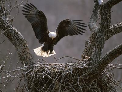 An American Bald Eagle Flies to its Nest-Roy Toft-Photographic Print