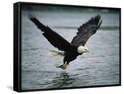 An American Bald Eagle Grabs a Fish in its Talons-Klaus Nigge-Framed Canvas Print