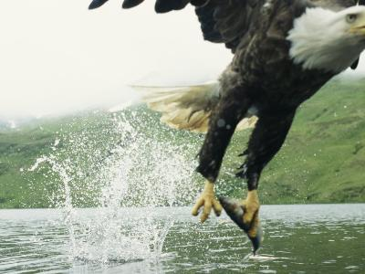 An American Bald Eagle Grabs a Fish with its Talons-Klaus Nigge-Photographic Print