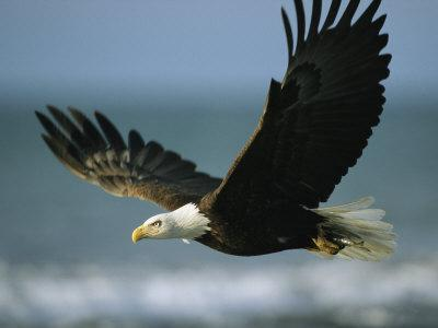 https://imgc.artprintimages.com/img/print/an-american-bald-eagle-in-flight-over-water-with-a-fish-in-its-talons_u-l-p3k2ef0.jpg?p=0