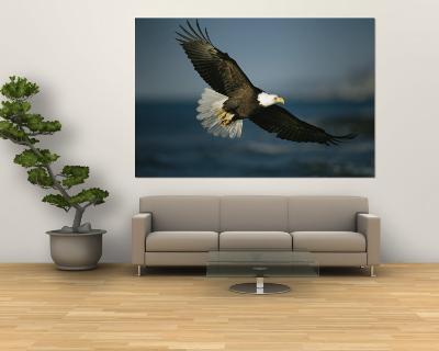 An American Bald Eagle in Flight--Wall Mural