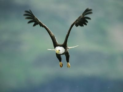 An American Bald Eagle in Flight-Klaus Nigge-Photographic Print