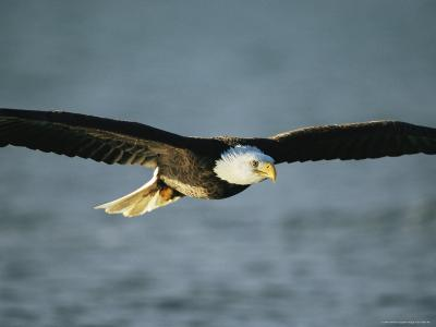 An American Bald Eagle in Flight--Photographic Print