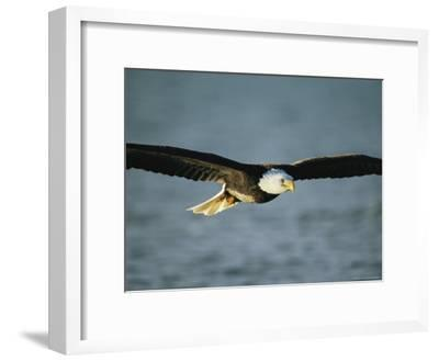 An American Bald Eagle in Flight--Framed Photographic Print