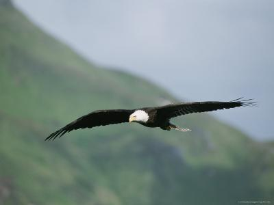 An American Bald Eagle in Flight-Tom Murphy-Photographic Print