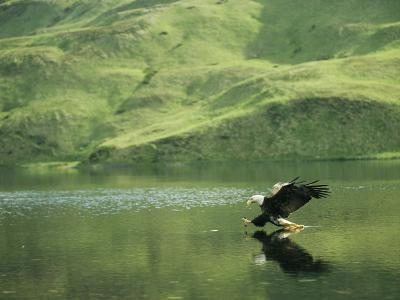 An American Bald Eagle Lunges Toward its Prey Below the Water-Klaus Nigge-Photographic Print