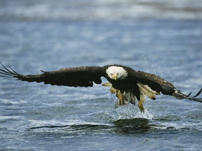An American Bald Eagle Lunges Toward its Prey Below the Water--Photographic Print