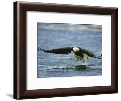 An American Bald Eagle Lunges Toward its Prey Below the Water--Framed Photographic Print