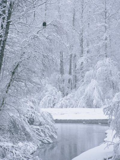 An American Bald Eagle Perched in a Snow-Covered Forest Near a Stream-Klaus Nigge-Photographic Print