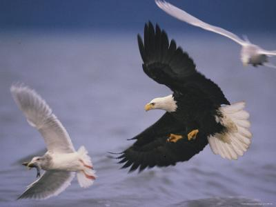 An American Bald Eagle Pursues a Gull with a Fish in its Beak--Photographic Print
