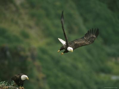 An American Bald Eagle Soars Near its Nest-Klaus Nigge-Photographic Print