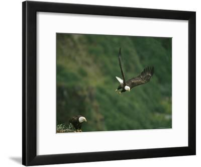 An American Bald Eagle Soars Near its Nest-Klaus Nigge-Framed Photographic Print
