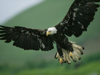 An American Bald Eagle Stares Intently Down at its Prey Below-Klaus Nigge-Photographic Print