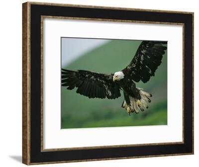 An American Bald Eagle Stares Intently Down at its Prey Below-Klaus Nigge-Framed Photographic Print