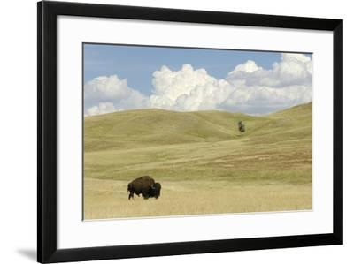 An American Bison, Bison Bison, in a Landscape of Rolling Hills and Puffy Clouds-Michael Forsberg-Framed Photographic Print