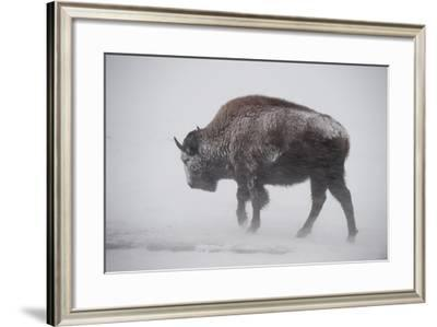 An American Bison Braves the Wind and the Snow-Tom Murphy-Framed Photographic Print