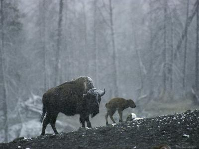 An American Bison Cow with Her Newborn Calf in the Woods-Michael S^ Quinton-Photographic Print