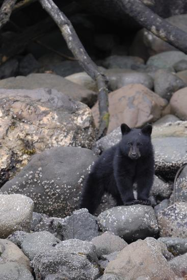 An American Black Bear Cub, Ursus Americanus, Foraging on a Rocky Shore-Jeff Wildermuth-Photographic Print