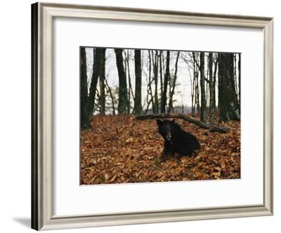 An American Black Bear Eating Acorns-Raymond Gehman-Framed Photographic Print