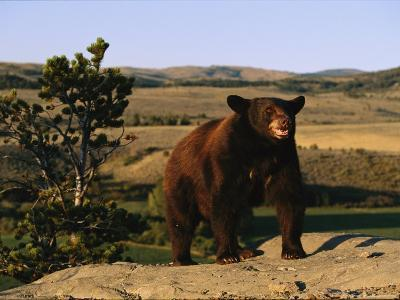 An American Black Bear Stands Atop a Rock-Norbert Rosing-Photographic Print