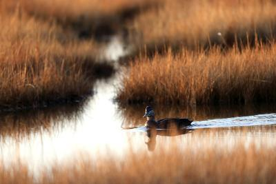An American Black Duck, Anas Rubripes, Swims Through a Marsh at Sunset-Robbie George-Photographic Print