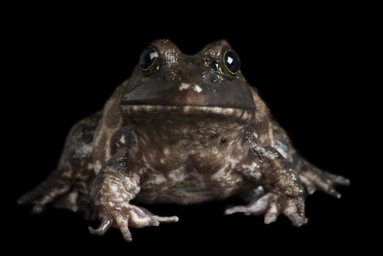 An American Bullfrog, Rana Catesbeiana.-Joel Sartore-Photographic Print