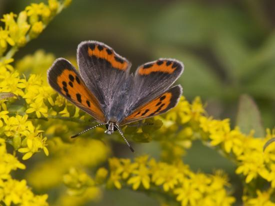 An American Copper Butterfly, Lycaena Phlaeas, on Goldenrod-Bates Littlehales-Photographic Print