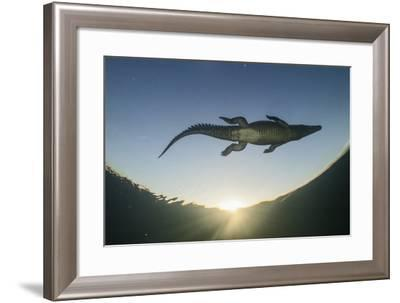 An American Crocodile Swims in Cuba's Gardens of the Queen National Marine Park-Jennifer Hayes-Framed Photographic Print