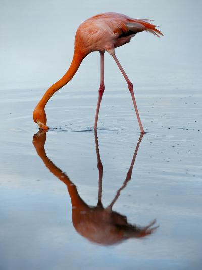 An American Flamingo and its Mirror Reflection in Blue Water-Joel Sartore-Photographic Print