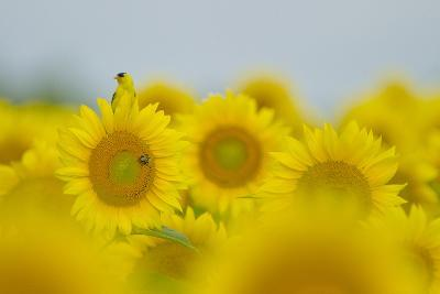 An American Goldfinch, Carduelis Tristis, on a Sunflower in a Field of Sunflowers-Paul Sutherland-Photographic Print