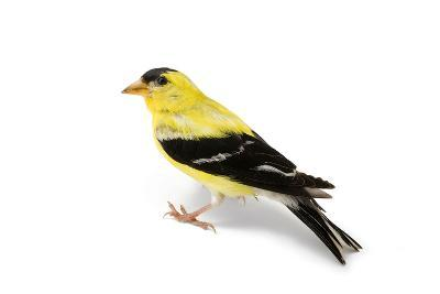 An American Goldfinch, Spinus Tristis-Joel Sartore-Photographic Print