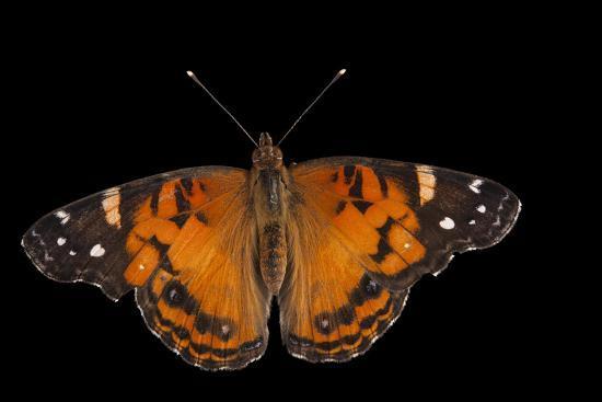 An American Lady Butterfly, Vanessa Virginiensis, at Cross Lake, Minnesota-Joel Sartore-Photographic Print