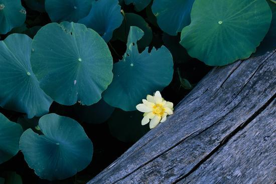 An American Lotus Flower Next To Lily Pads And A Log Photographic