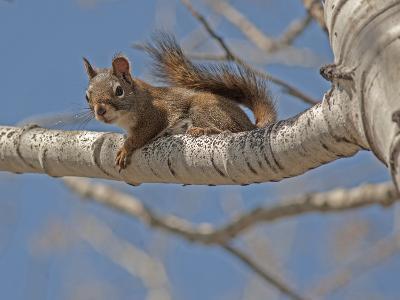 An American Red Squirrel, Tamiasciurus Hudsonicus, Perches on a Branch of an Aspen Tree-Gordon Wiltsie-Photographic Print