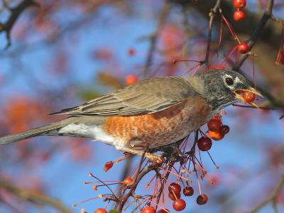 An American Robin, Turdus Migratorius, Eating Crab Apples in a Tree-George Grall-Photographic Print