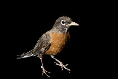 An American Robin, Turdus Migratorius.-Joel Sartore-Photographic Print