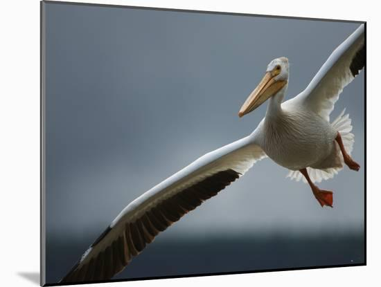 An American White Pelican Sails Above the Slave River-Klaus Nigge-Mounted Photographic Print