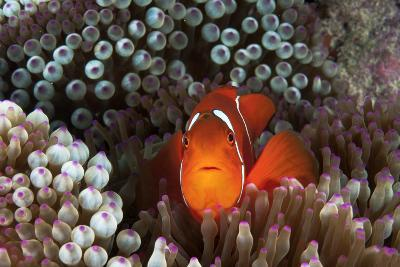 An Anemonefish Inside its Host Sea Anemone on Three Sisters Reef-David Doubilet-Photographic Print