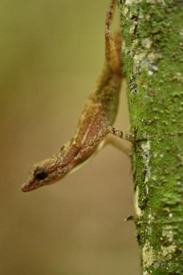 An Anole Lizard on Barro Colorado Island-Jonathan Kingston-Photographic Print