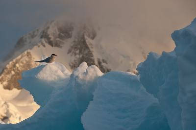 An Antarctic Tern Perched in the Sun on An Iceberg-Tom Murphy-Photographic Print