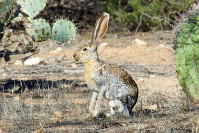 An Antelope Jackrabbit (Lepus Alleni) Alert for Danger-Richard Wright-Photographic Print