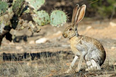 An Antelope Jackrabbit (Lepus Alleni) Alert for Danger-Richard Wright-Photographic Print