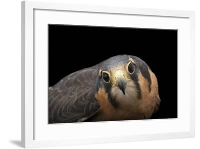 An Aplomado Falcon, Falco Femoralis, at the Milford Nature Center-Joel Sartore-Framed Photographic Print