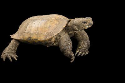 An Arakan Forest Turtle, Heosemys Depressa, at the Saint Louis Zoo.-Joel Sartore-Photographic Print