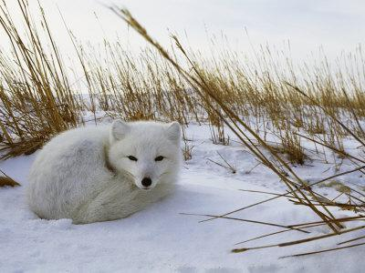 An Arctic Fox Curls up in the Snow for a Nap-Norbert Rosing-Photographic Print
